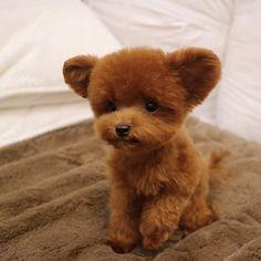 """8,944 kedvelés, 100 hozzászólás – Teddy Bear SHU familly (@bibi_shasha) Instagram-hozzászólása: """". 팔팔해진 곰돌이 슈 . . . #SHU #슈 #케릭터 #character #TeddySHU #poodle #redpoodle #toypoodle #teacuppoodle…"""""""