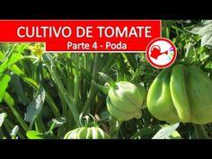 Cultivo de Tomate Parte 4 - Como plantar tomates espectaculares en casa