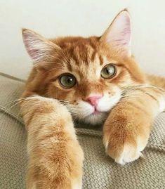 #chat #cat #roux #mignon