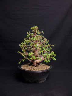 carpinus coreana 1