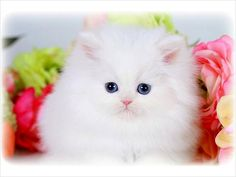 So you are looking for a smaller version of the Persian cat. While reputable Persian cat breeders will occasionally have smaller than average kittens available for sale, those who endeavor to produce. Teacup Persian Kittens, Teacup Cats, Persian Cats For Sale, Super Cute Cats, Owning A Cat, Beautiful Cats, Cat Breeds, Cute Animals, Kitty