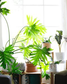 Philodendron bipinnatifidum in it's happy place- a bright, filtered window.