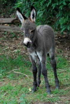 Hailing from Sicily and Sardinia, the Mediterranean miniature donkey is ...  zooborns.com