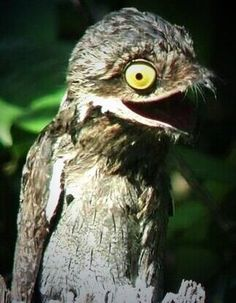 Potoo Bird Seems To Be Constantly Terrified  10 pics    Bored Panda     Potoo Bird Seems To Be Constantly Terrified  10 pics    Bored Panda   POTOO   CUTE   Pinterest   Potoo bird  Bird and Panda