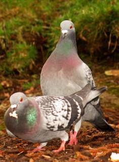 pigeon partners