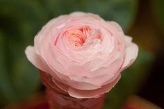 のんくり日和: 【バラ】ポンポネッラ、エビータ、アイスバーグ
