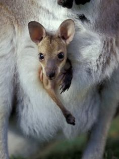 Joey Kangaroo ~Taking a peek at the world! #marsupials #kangaroo
