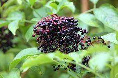 Zralé bobule černého bezu předznamenávají příchod podzimu Blackberry, Fruit, Drinks, Food, Syrup, Drinking, Beverages, Essen, Blackberries