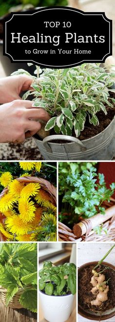 Top 10 healing plants to grow in your home