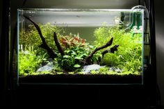 Nature style aquascaping with driftwood focus