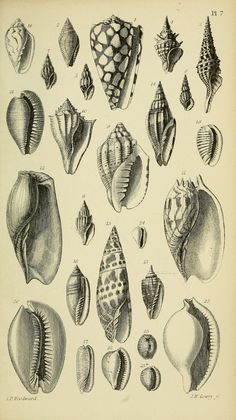 1868 - A manual of the Mollusca : a treatise on recent and fossil shells / by Dr. Waterhouse and Joseph Wilson Lowry. via BHL Shell Drawing, Ocean Drawing, Antique Illustration, Botanical Illustration, Illustration Art, Nature Illustrations, Seashell Tattoos, Seashell Art, Sea Creatures Drawing