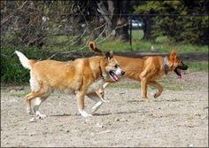 Mixed-Aged Dog Packs - Whole Dog Journal Article