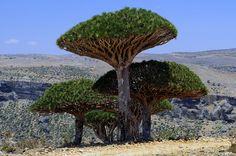 Socotra Dragon Tree or Dragon Blood Tree in Socotra Islands, Yemen