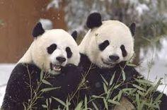 Resultado de imagen de pandas