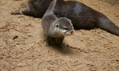 Little Otter Pup - January 24, 2011