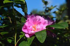 Therese  ruusu
