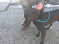 Neccog Animal Services 21 hrs ·  *FOUND DOG* Choc. Lab found on Spring Hill Rd. Woodstock on Sunday. Please call 860-774-1253.