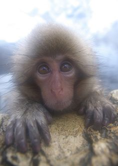 Snow monkey in the steam of the hot springs in Japan