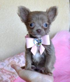 Teacup Chihuahua Puppies on Micro Teacup Chihuahua Puppy Wow Adorable Light Chocolate Princess 14 Le Chihuahua, Chihuahua Puppies For Sale, Cute Puppies, Cute Dogs, Dogs And Puppies, Terrier Puppies, Doggies, Toy Dogs, Bull Terriers