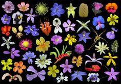 Wildflower - Wikipedia, the free encyclopedia