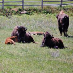 Bison - OK State Animal ~by Renee LaCombe