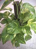 POTUS/  Epipremmum aureum