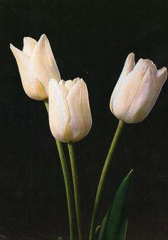 Tulip «White Dream»