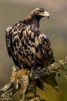 Aigle ibérique // Spanish Imperial Eagle (Aquila adalberti)