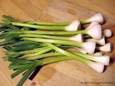 Growing Garlic, Harvesting Garlic, and Green Garlic