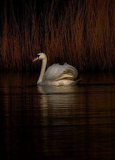 """Swan Serenity."""