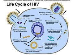 Here is an image showing the actual life cycle of how the HIV infection actually works. MJS