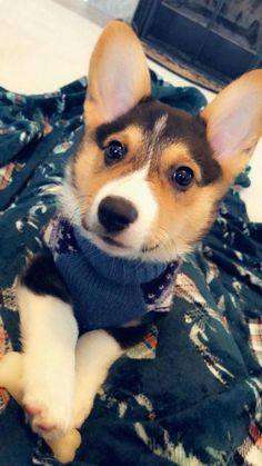 Untitled Corgi Dog Breed Pets Corgi Dog