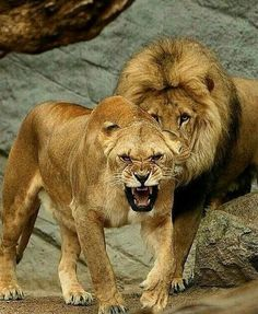 My sweetheart is like a lioness protecting her man. : My sweetheart is like a lioness protecting her man. Beautiful Lion, Animals Beautiful, Lion Pictures, Animal Pictures, Animals And Pets, Cute Animals, Lion Couple, Gato Grande, Lion And Lioness