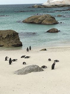 Penguins at Boulder Beach in Cape Town, South Africa