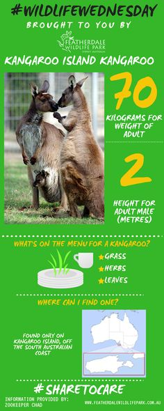 Our #wildlifewednesday star this week is the Kangaroo Island Kangaroo!