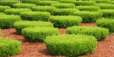 shrubs - Google Search