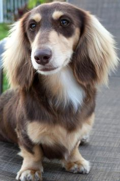 Dox is one of the TOP TEN dog breeds AKC 2013 this is one type & prettiest Dachshunds ive congrats Doxie and all winner and loosers because all doggies of anykind are winners to us.God Bless all the doggies in the world and may peace be with u all e Dachshund Funny, Dapple Dachshund, Long Haired Dachshund, Dachshund Puppies, Dachshund Love, Cute Puppies, Cute Dogs, Daschund, Dachshund Facts