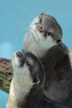Someday I will have Otters.