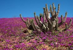 Flowers bloom on the desert in the Llanos de Challe national park, at the doors of the Atacama desert, 600 km north of Santiago, Chile. Desert Flowers, Desert Plants, Colorful Flowers, Wild Flowers, Beautiful Flowers, Dry Desert, Desert Life, Champs, Chili