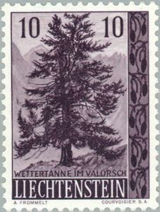 Alpine fir tree