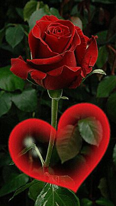 The perfect Rose Heart Animated GIF for your conversation. Discover and Share the best GIFs on Tenor. Beautiful Flowers Wallpapers, Beautiful Rose Flowers, Pretty Flowers, Beautiful Love Pictures, Beautiful Gif, Rose Images, Flower Images, Gif Bonito, Good Morning Flowers Gif