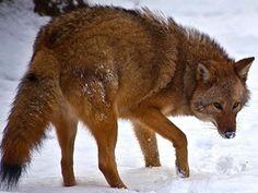 Coyote-Lobo: Nueva especie animal se desarrolla en el noreste de EEUU | 20151103