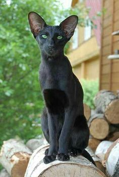 Fantastic Pic black Cat Breeds Tips : A lot of people think that cats and kittens are merely cats and kittens, knowning that all of them are a same. Pretty Cats, Beautiful Cats, Animals Beautiful, Most Beautiful Cat Breeds, Siamese Cats, Cats And Kittens, Black Siamese Cat, Ragdoll Cats, Animals And Pets