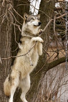 Wolf on hind legs, pulling a branch.