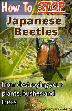Great, all-natural ways to keep Japanese beetles from devouring the plants in your landscape. Keep your plants healthy and free of damage. Garden Bugs, Garden Insects, Garden Pests, Lawn And Garden, Herbs Garden, Garden Care, Easy Garden, Spring Garden, Killing Japanese Beetles