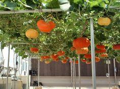 Les carbasses es poden cultivar mitjançant pergoles insistemes semblants, cosa que permet posar-hi a sota plantes que requereixen o poden suportar ombra com maduixes o enciams.