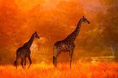 Color!  Giraffes!!!