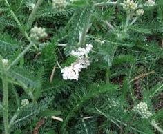 Image result for yarrow weed