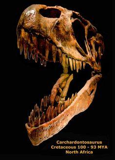 Crâne de Carcharodontosaurus