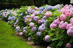 How to winterize Hydrangeas